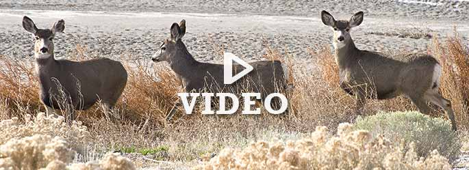 Pronghorn roundup video